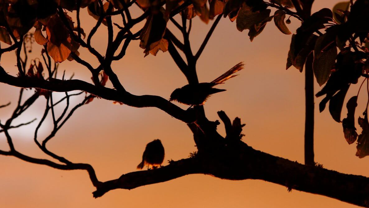 New Zealand Birds: Fantails at Sunset