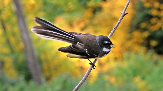 New Zealand Birds: Fantail NZ