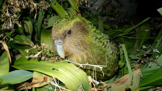 New Zealand Birds: Kakapo Sirocco