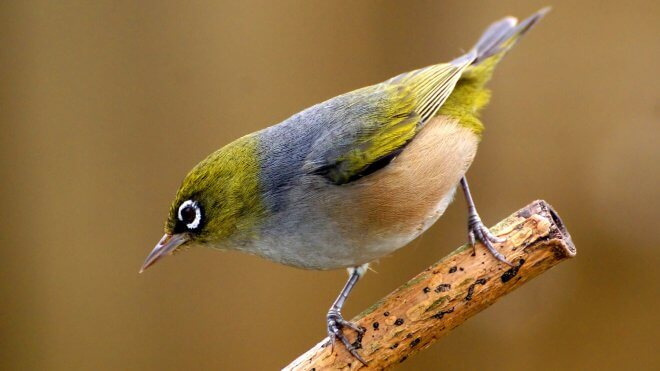 New Zealand Birds: Silvereye (Zosterops Lateralis)